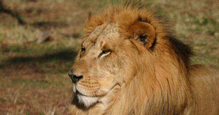 Sistema respiratorio de un león africano. El león africano es un mamífero de sangre caliente que respira de la misma manera en la que nosotros lo hacemos, a través de las fosas nasales, boca y pulmones. Los leones africanos viven normalmente en climas calientes, así que el calor es un problema para ellos. Este animal regula su temperatura por un simple intercambio de calor a lo largo de ...