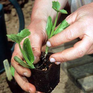 Pourquoi prévoir deux semis de courgettes