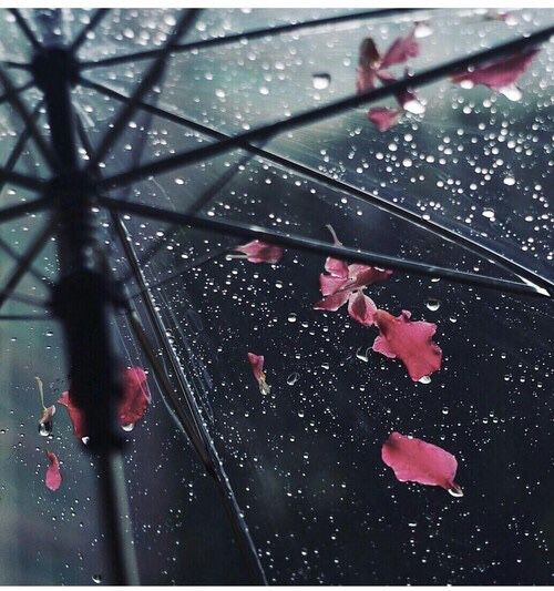 Clear umbrella rain drops with pink leaves