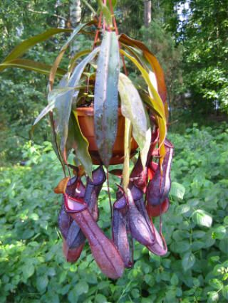 """""""Nepenthes alata"""" or winged pitcher plant, which is an endemic plant of Philippines. It's one of the most famous & carnivorous pitcher plants. Many people may find these harmless plants a little bit scary but I think they are quite marvelous."""