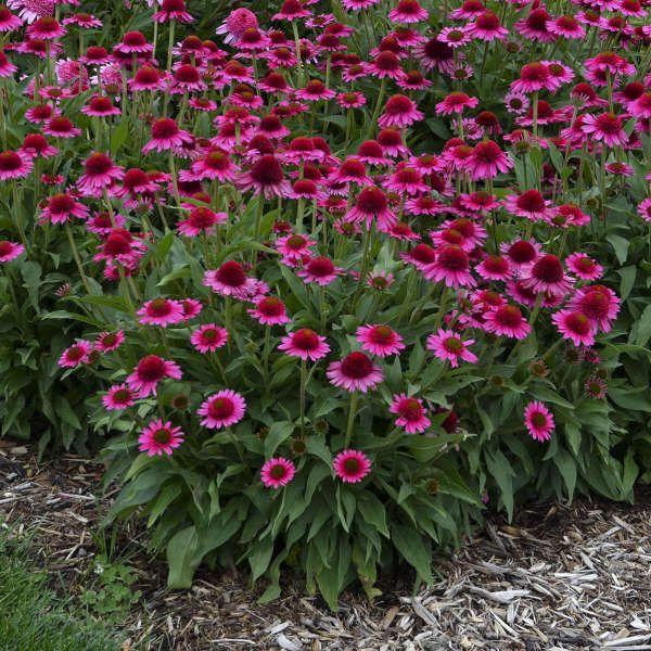 19 Perennials For Clay Soil Perennial