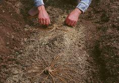 Un sol léger, des tranchées profondes, arrosage copieux, binage régulier : les étapes de la plantation de l'asperge.
