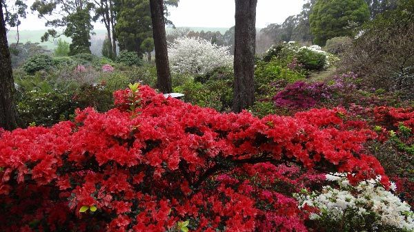 Emu Valley Rhododendron Garden, Burnie. Visited in December, not many rhodos were still in bloom.