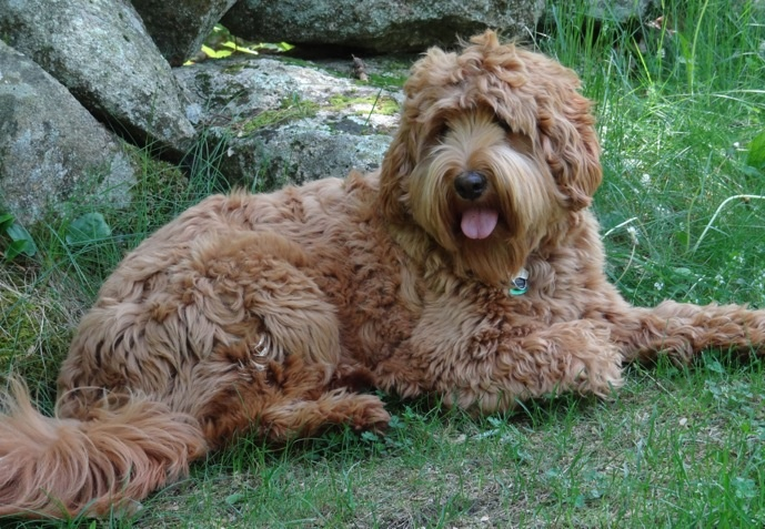 Pin by Nestlewood Labradoodles on Labradoodles
