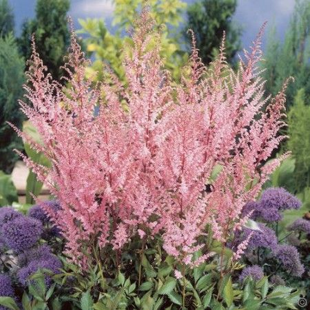 Astilbe arendsii Erika Bare Root - 3 plants