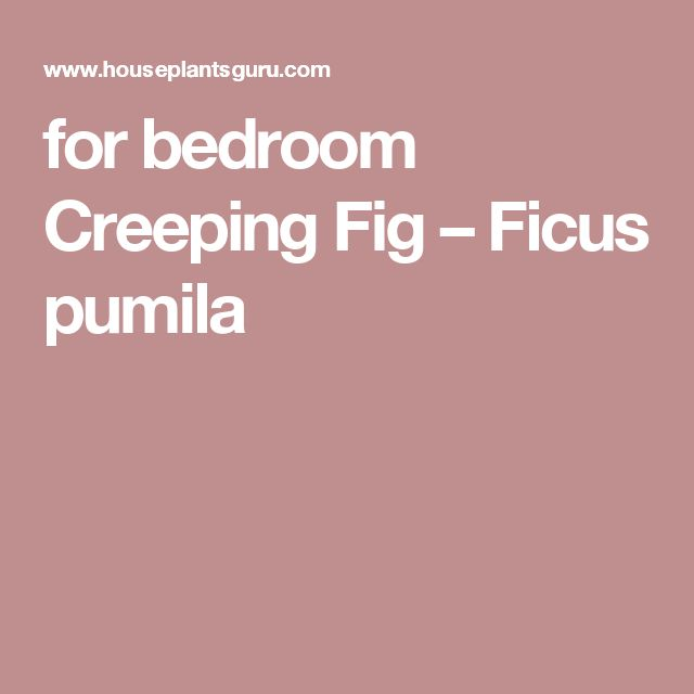 for bedroom Creeping Fig – Ficus pumila