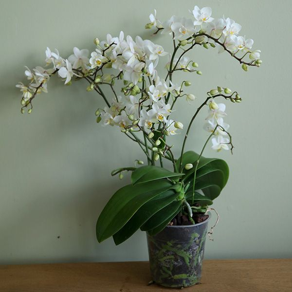 Phalaenopsis 'White Willd Orchid' moth orchid. Incredibly prolific and long-flowering