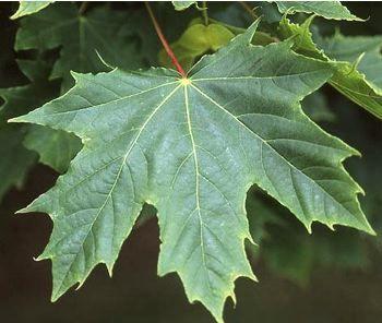 Acer platanoides Globosum - Feuille Érable boule