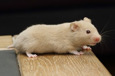 Champain (red eyed) Syrian Hamster