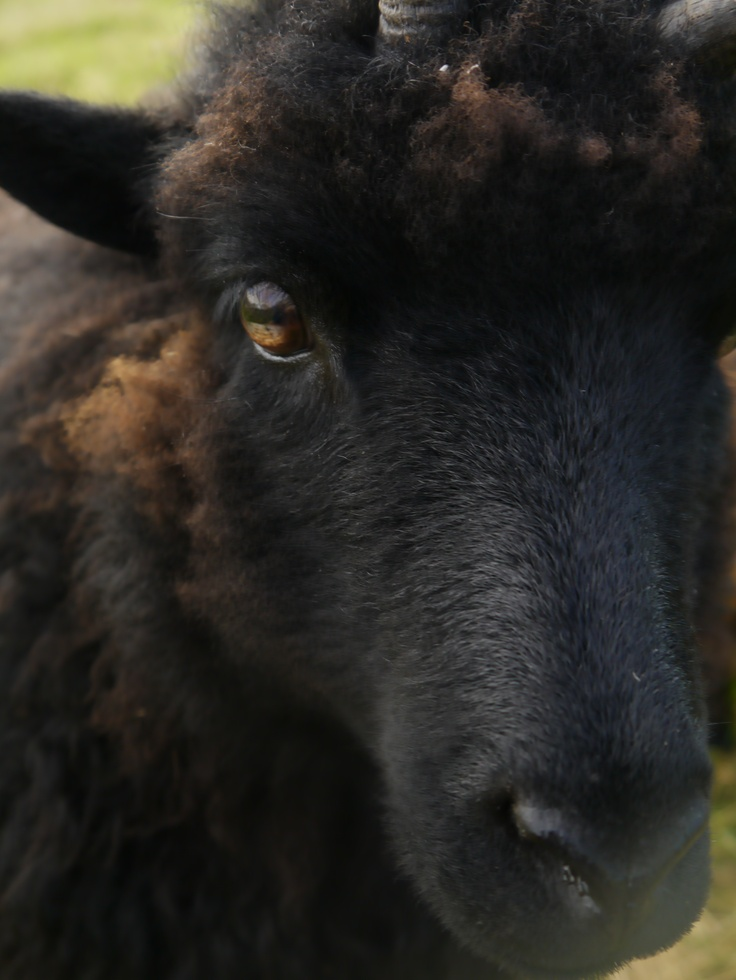 Hebridean sheep.