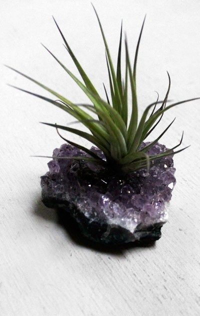 air plant + amethyst : the best of both worlds for me. A geode and a plant I can't kill