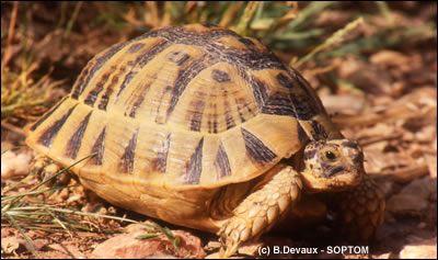 TV5MONDE- Les espèces en voie de disparition- La tortue grecque