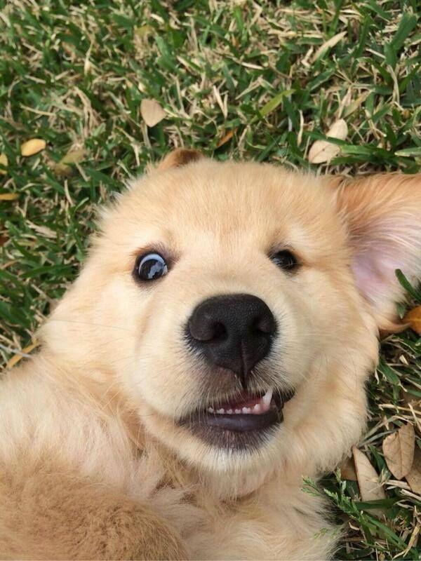 Golden Retriever selfie