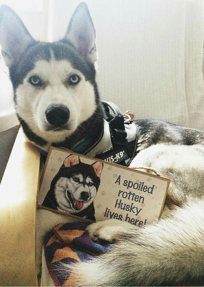 Things I Enjoy About The Athletic Siberian Husky