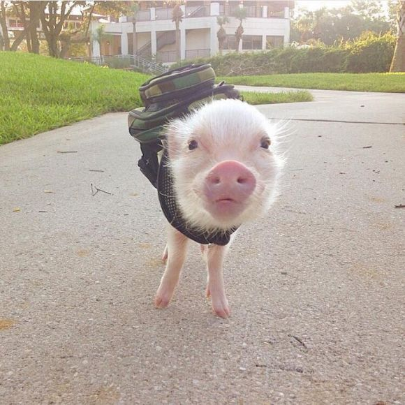 cute piglet wears a backpack