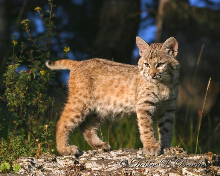 my boyfriend wants us to have one of these as a pet. yes, this is a bobcat...