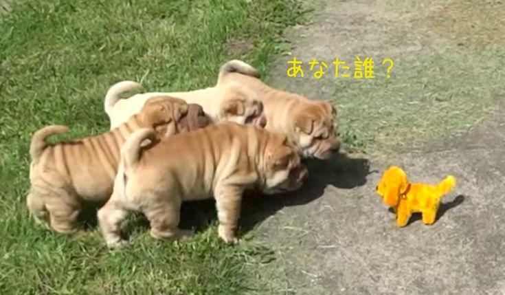 シワシワ包囲網ピチピチの若さを誇るシャーペイ子犬ロボット犬を攻撃