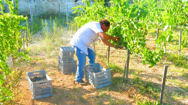 Our Winemaker and Owner Mr. Theodoros Fikardos during harvest of our #organic #Shiraz grapes