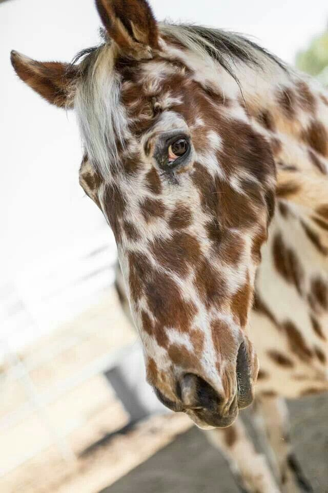 1000+ images about appaloosa on Pinterest | Horses for ...