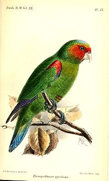 The Red-faced Parrot (Hapalopsittaca pyrrhops) is a species of parrot in the Psittacidae family. It is found in Ecuador and Peru.  Its natural habitat is subtropical or tropical moist montane forests. It is threatened by habitat loss.
