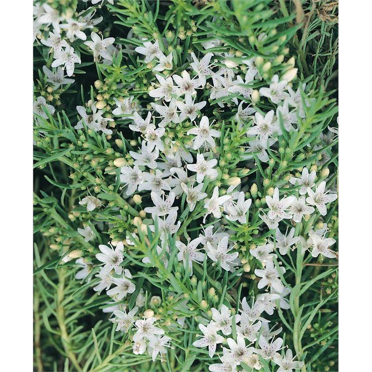 130mm Myoporum Parvifolium Alba