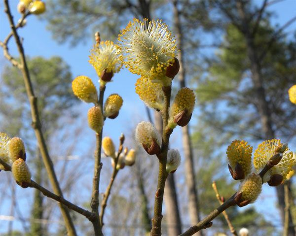 Ιτιά (Salix Cortex)