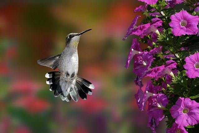 Hanging Flower Baskets That Attract Hummingbirds : Best images about birds on bird houses