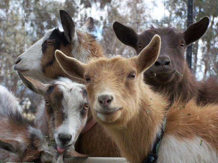 28 best Nigerian Dwarf Goats images on Pinterest ...