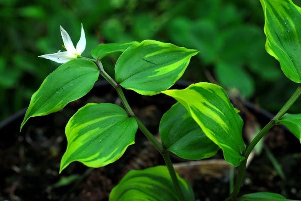 Disporum smilacinum 'Ki Naka Fu'