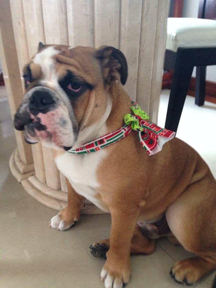 'Tommy' en modo navideño con LA GARDENIA. #Bufanda #Mascota #Moño