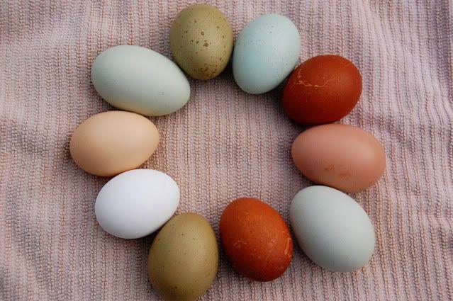 * (starting clock wise Olive eggers, Ameraucana, Black Copper Marans,  Naked Neck, Easter Egger, Black Copper Marans, Olive Egger, Ancona white, Salmon Favorelle, Easter Egger.)