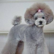 japanese poodle grooming, not the most extravagant I've seen, but I love the ears brought up