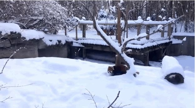 Look at this guy. | These Red Pandas Playing In Snow Are The Most Joyful Thing On The Internet