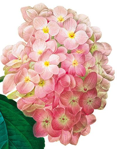 Hydrangea - Natural History Museum greeting card