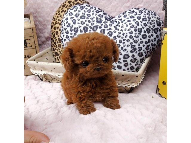 Beautiful Teacup Poodle Puppies Ready Teacup Poodle Puppies Tea