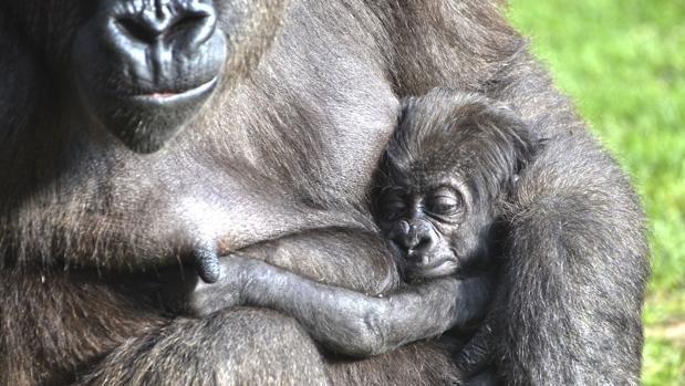 Vídeo: así es el gorila #bebé de Bioparc Valencia