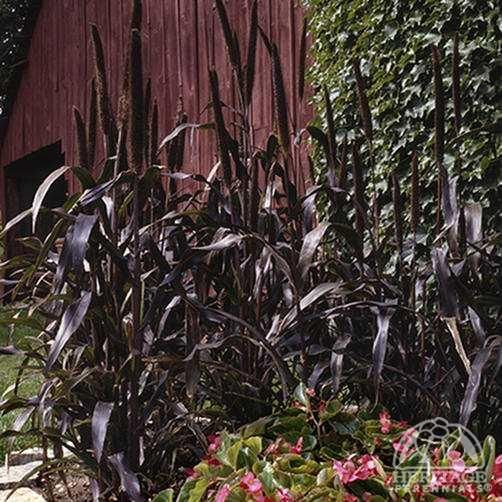Pennisetum glaucum 'Purple Majesty'