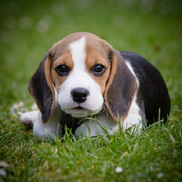 A Beagle Puppy 180 best images about ...