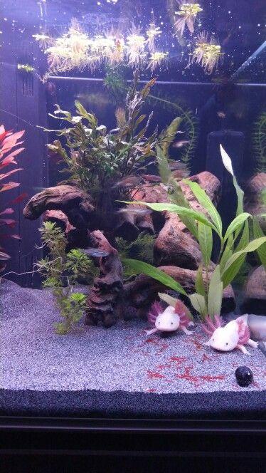 25 Best Ideas About Axolotl Tank On Pinterest Fish Tank