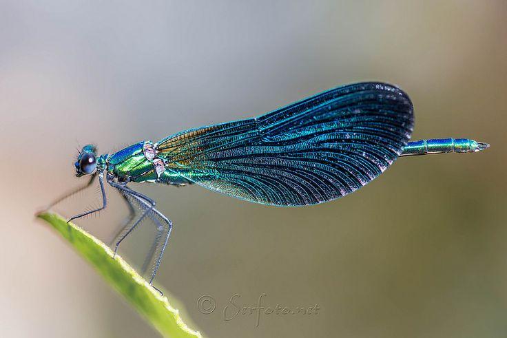 Calopterix Virgo