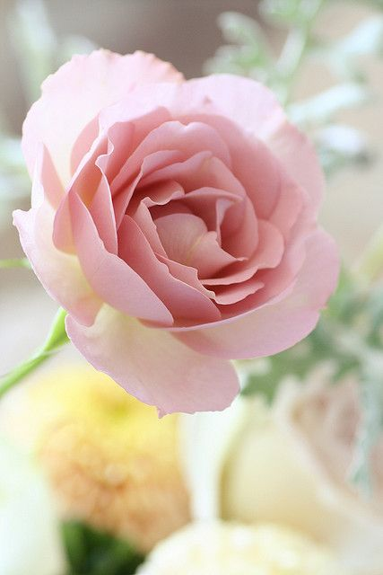 Flower- Dream rose. So subtle and delicately beautiful