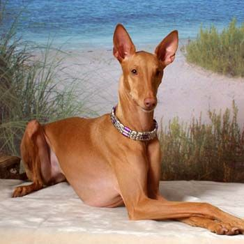 The Pharaoh Hound was bred in ancient Malta for its scenting & sight in hunting.  It still prefers a hot climate.  The Pharaoh Hound requires little grooming, but it does require a lot of exercise and is difficult to train.  It is not suited to urban living.