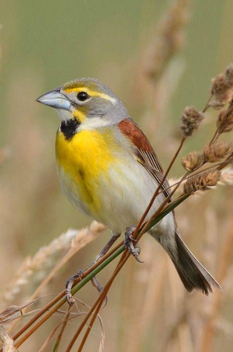 Dickcissel (Spiza americana). A small, migratory New World cardinal. photo: Daniel Behm.