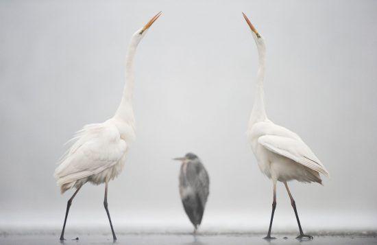 Great Egret by Bence Máté