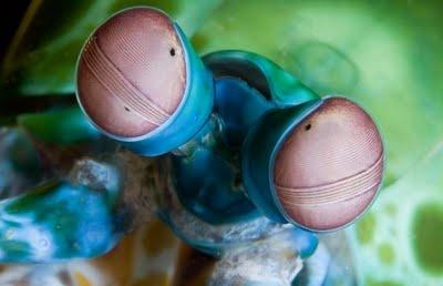 Camarão pavão louva-deus / Peacock mantis shrimp