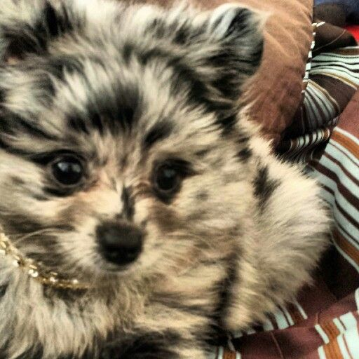 Blue Merle Toy Pomeranian puppy dogs puppies that are so cute and sweet #Azura