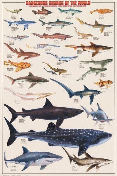 Dangerous Sharks of the World Biology Education Poster 24x36 – BananaRoad