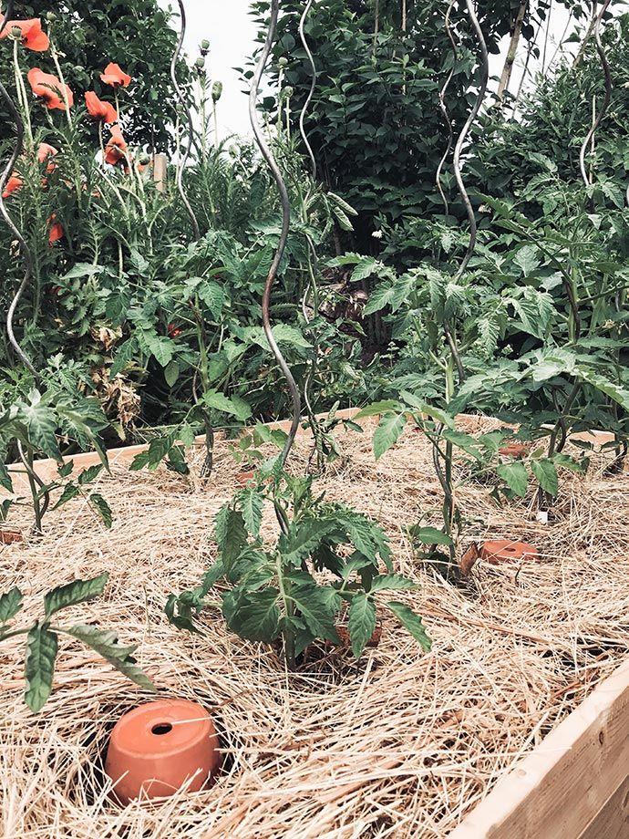Richtig Mulchen Statt Giessen Gartenblog Hauptstadtgarten Tomaten Garten Garten Bepflanzen Garten Anpflanzen