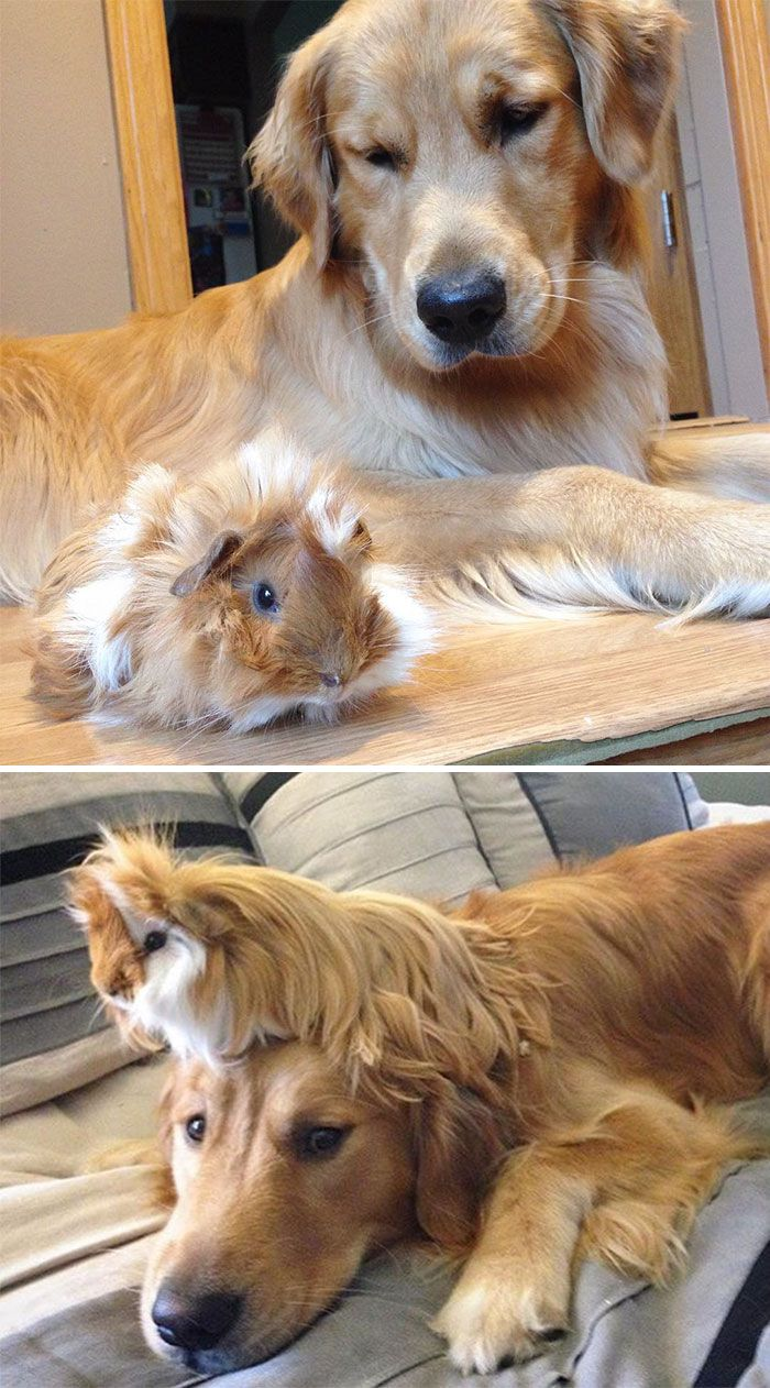 DOG and .......... GUINEA PIG are best friends  #friendships
