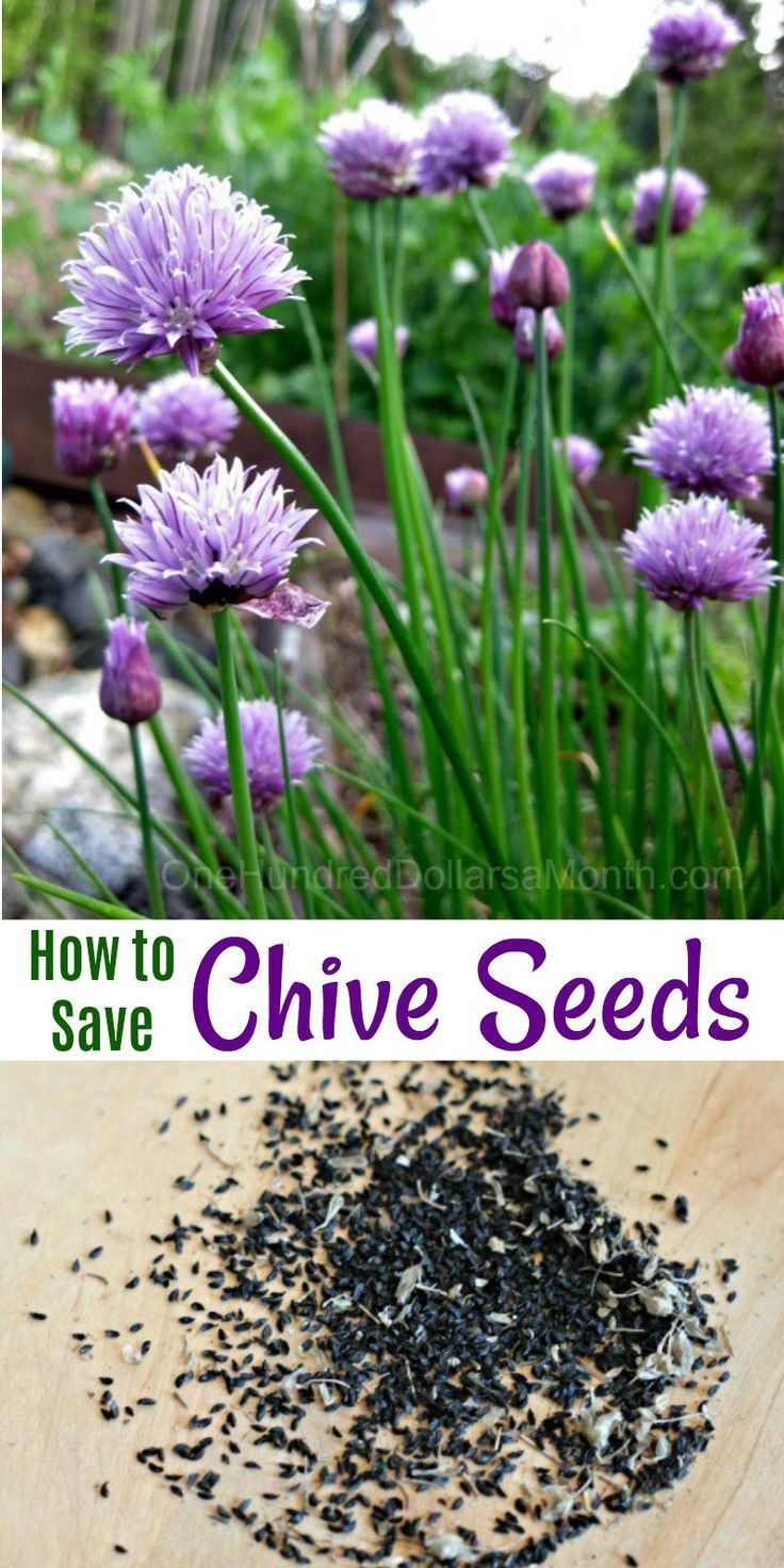 Mavis Garden Blog How To Save Chive Seeds One Hundred Dollars A Month Chive Seeds Vertical Herb Garden Chives Plant